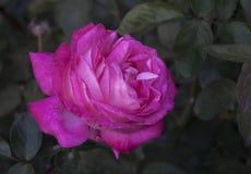 Rosa del rojo en jardín Fotos de archivo libres de regalías