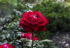 Rosa del rojo en jard?n del verano fotografía de archivo