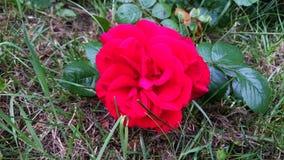 rosa del rojo en la hierba Imagenes de archivo