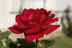 Rosa del rojo en la rosaleda Imagen de archivo