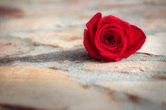 Rosa del rojo en la tierra de piedra Imagen de archivo libre de regalías