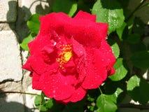 Rosa del rojo en las gotas de la lluvia Foto de archivo