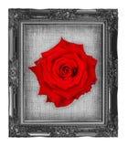 Rosa del rojo en marco negro con beautifu vacío de la lona de lino del grunge fotos de archivo libres de regalías