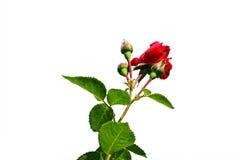 Rosa del rojo en un fondo blanco Fotos de archivo libres de regalías