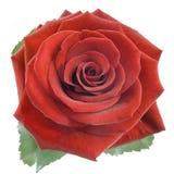 Rosa del rojo isplated Imagen de archivo