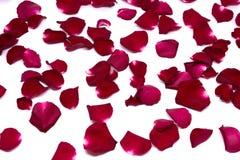 Rosa del rojo del primer en los fondos blancos Imagen de archivo libre de regalías