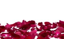 Rosa del rojo del primer en los fondos blancos Foto de archivo libre de regalías