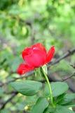 Rosa del rojo que crece al aire libre en el jardín La flor fresca brillante en verde sale del fondo Ramificaciones de árboles pri Fotos de archivo