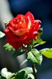 Rosa del rojo que florece en el jardín Fotografía de archivo