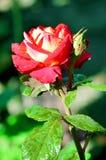 Rosa del rojo que florece en el jardín Imagenes de archivo