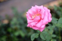 Rosa del rojo que florece en el jardín Foto de archivo libre de regalías