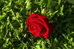 Rosa del rojo una muestra del amor en el día de San Valentín puesto en una hierba verde fi Imagen de archivo