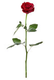 Rosa del rojo, vástago largo Imagenes de archivo