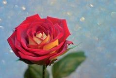 Rosa del rojo y del amarillo Imágenes de archivo libres de regalías