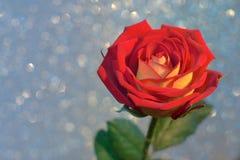Rosa del rojo y del amarillo Fotos de archivo