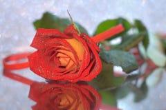 Rosa del rojo y del amarillo Fotografía de archivo
