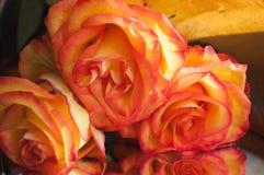 Rosa del rojo y del amarillo con rocío fotografía de archivo libre de regalías
