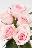 Rosa del rosa Imagen de archivo libre de regalías