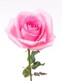 Rosa del rosa Fotografía de archivo