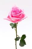 Rosa del rosa Foto de archivo libre de regalías