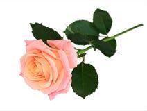 Rosa del rosa Imágenes de archivo libres de regalías