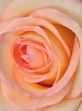 Rosa del rosa Foto de archivo