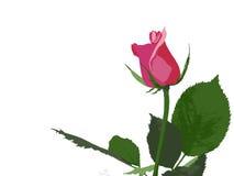 Rosa del rosa Fotografía de archivo libre de regalías