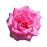 Rosa del rosa aislada en el fondo blanco, el foco suave y el recortes imagenes de archivo