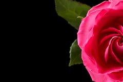 Rosa del rosa aislada en negro Imagen de archivo libre de regalías