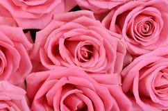 Rosa del rosa como fondo imagen de archivo