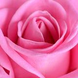 Rosa del rosa como fondo imagenes de archivo