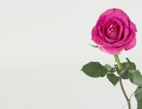 Rosa del rosa con el tronco verde Foto de archivo