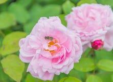 Rosa del rosa con la abeja en la flor Fotos de archivo libres de regalías
