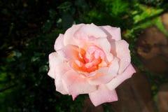 Rosa del rosa con las gotas de agua en un jardín Imágenes de archivo libres de regalías