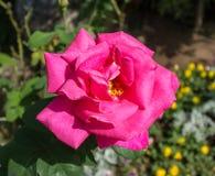 Rosa del rosa de la flor Fotografía de archivo libre de regalías