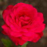 Rosa del rosa de la flor Imágenes de archivo libres de regalías