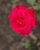 Rosa del rosa de la flor Foto de archivo