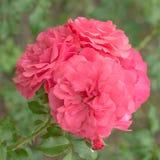 Rosa del rosa de la flor Fotografía de archivo