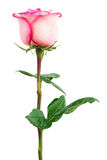 Rosa del rosa de la frescura Fotos de archivo libres de regalías