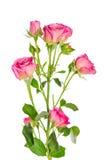 Rosa del rosa del arbusto de la rama Imagen de archivo libre de regalías