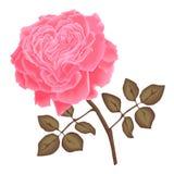 Rosa del rosa del vector Fotografía de archivo libre de regalías
