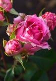 Rosa del rosa en el jardín, Fotografía de archivo libre de regalías