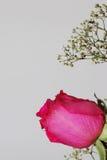 Rosa del rosa en el retrato blanco Fotos de archivo libres de regalías