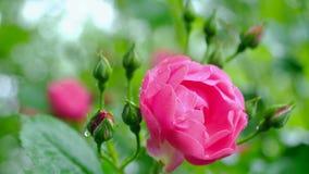 Rosa del rosa en las gotas de la lluvia El movimiento de la cámara permite que usted considere una rosa por todos los lados almacen de metraje de vídeo