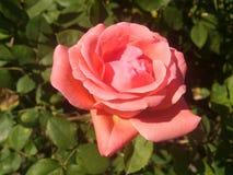 Rosa del rosa en rosaleda Imágenes de archivo libres de regalías