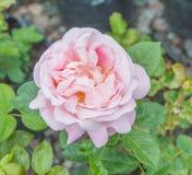 Rosa del rosa en tronco Fotografía de archivo