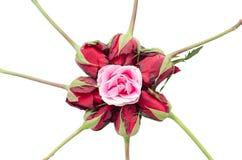 Rosa del rosa entre las rosas rojas imágenes de archivo libres de regalías