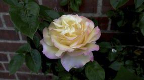 Rosa del rosa y del amarillo Imagenes de archivo