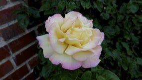 Rosa del rosa y del amarillo Fotos de archivo