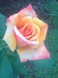 Rosa del rosa y del amarillo Fotografía de archivo